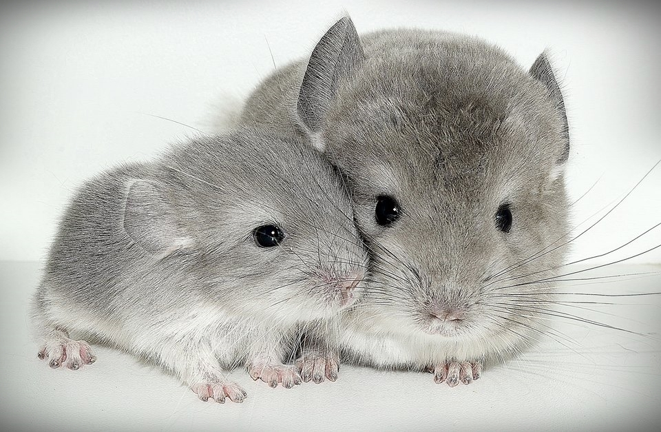 baby chinchilla information - images