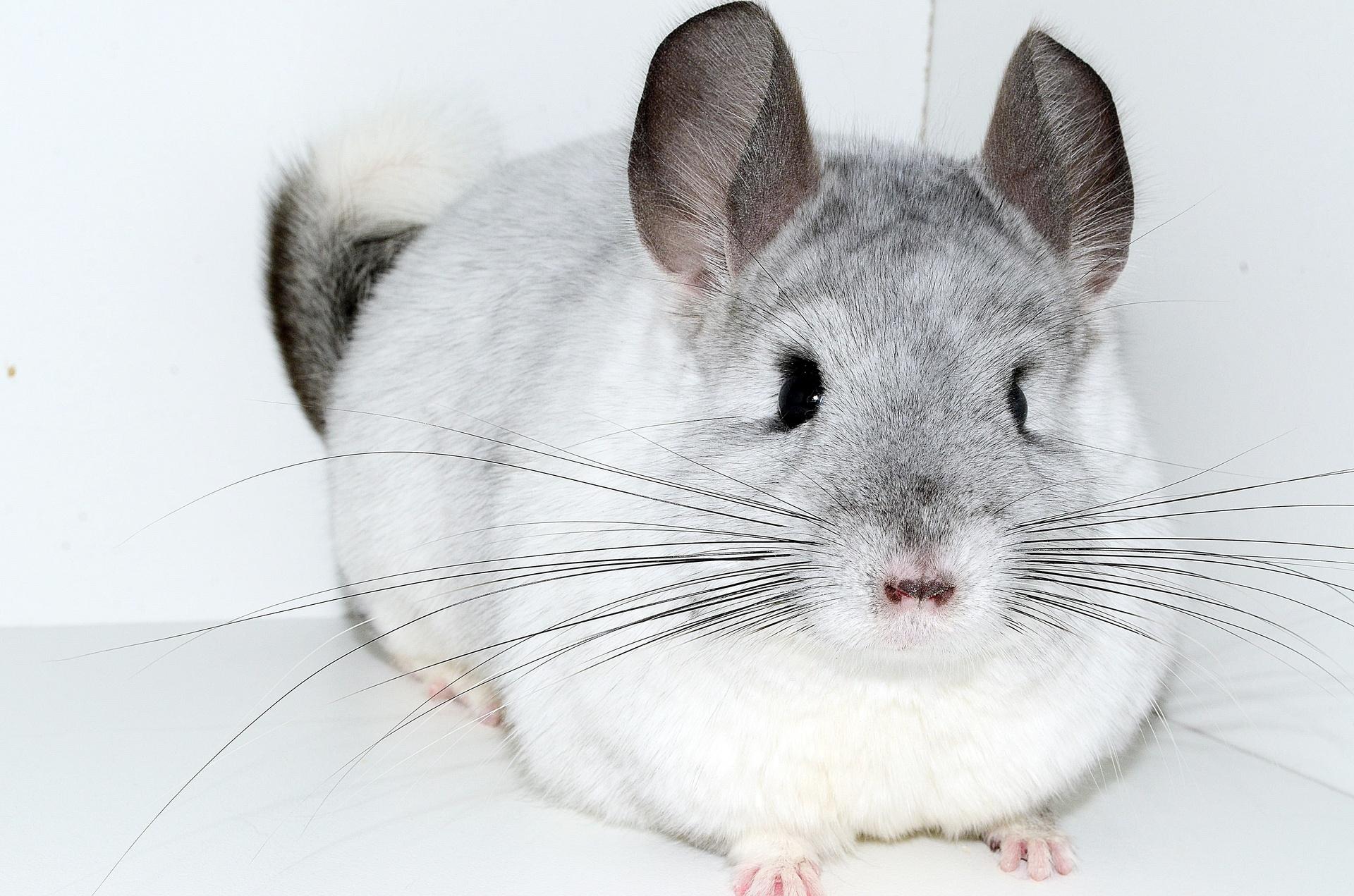 Chinchilla For Sale >> Tiffany S Chinchillas Breeder Pet Sales In North Carolina On